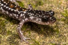 Yonahlossee salamander (Plethodon yonahlossee) (JLoyacano) Tags: northcarolina jacobloyacano yonahlosseesalamander salamander amphbian herping batcave plethodonyonahlosseelongicrus crevicesalamander yonahlosseesalamanderplethodonyonahlossee batcavesalamander plethodonyonahlossee herp caudata amphibia nc plethodon