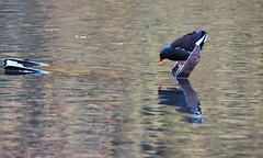 fowl-reflection (petern1694) Tags: nature birds canon eos wildlife canon500d abneyhall pond fowl waterfowl moorhen