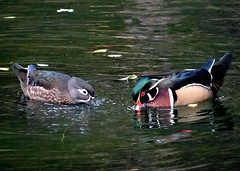 Two wood ducks (EcoSnake) Tags: ducks woodducks waterfowl wildlife water october fall idahofishandgame naturecenter