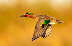 Green-Winged Teal (Thy Photography) Tags: wildlife animal nature outdoor backyard california bird sunrise sunset dawn dusk sunshine thyphotography greenwingedteal fullframe fe600mmf4gmoss sanfranciscobayarea sonya9 goldenhour goldenlight