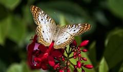 Butterfly (bumpplayball) Tags: nature macro butterfly garden