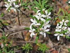 Philotheca hispidula 3 (Barry M Ralley) Tags: blue gum swamp track winmalee bluemountainsnationalpark nsw australia aushp barry m ralley barrymralley philotheca hispidula hairy waxflower spreadingwaxflower rutaceae rue citrus family