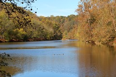 Mallards (seventh_sense) Tags: lake river water fall autumn leaves leaf tree trees duck ducks afternoon nature natural view calm peaceful tranquil waters