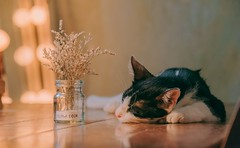 Adorable animal photography blur cat - Credit to https://homegets.com/ (davidstewartgets) Tags: adorable animal photography blur cat closeup cute depth of field felidae feline focus furry laying lying pet rest resting sleep sleeping whiskers