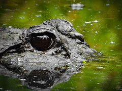 FLORIDA FALL (eliewolfphotography) Tags: animals alligator americanalligator florida floridawildlife floridaliving reptiles wildlife wildlifephotographer wildlifephotography wetlands nature naturelovers nikon naturephotography natgeo naturephotographer state parks reflections