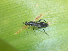Defending the Leaf (tessab101) Tags: insect bug arthropods macro bluemountains australia exaireta spinigera