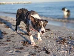 42/52 ... The Stalker ... (.Lils.) Tags: 52weeksfordogs fury koolie bluemerle ocean sand