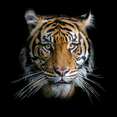 Sumatran Tiger Portrait (Moshe Ovadya) Tags: socal lazoo emount wildlife tiger sonyα7riii losangeles sumatrantiger photoshop sonysel100400gmfe100400mmf4556gmoss portrait animals a7r a7riii alpha ilce7rm3 sel100400gm sony sonyalpha southerncalifornia e pantheratigrissumatrae portraiture supertelephoto telephoto zoo zoom california unitedstates