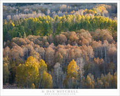 Layered Groves (G Dan Mitchell) Tags: color vary parallel rows aspen groves forest trees fall autumn leaves eastern sierra nevada mountains conway summit landscape nature california usa north america season