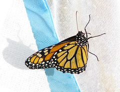 and 46 hours later ... she's off to Mexico! (Vicki's Nature) Tags: monarch butterfly fresh golden orange spots wings yard georgia vickisnature canon s5 3428