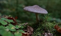 miniature world (Claude@Munich) Tags: germany bavaria upperbavaria landkreismünchen ödenpullach forest forestfloor mushroom fungi claudemunich bayern oberbayern wald waldboden pilz