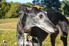 Turning Over A New Leaf (houndstooth4) Tags: dog greyhound flattery dogchal ddc 4252 52weeksfordogs