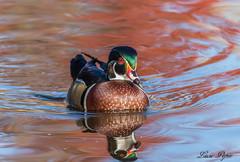 Canard branchu - Wood Duck (Lucie.Pepin1) Tags: birds oiseaux canard duck nature wildlife faune fauna luciepepin canon7dmarkii canon300mml