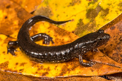 Southern Dusky Salamander (Desmognathus auriculatus) (JLoyacano) Tags: apalachicoladuskysalamanderdesmognathusapalachicolae ocoee nature caudata jacobloyacano herps desmognathus wildlife salamanderdesmognathusauriculatus ravine desmognathusapalachicolae amphibian southernduskysalamander herp salamander amphibia southernpygmysalamander duskysalamander