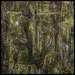 Lake Woodruff NWR #4 2019; Cypress Swamp with Knees (hamsiksa) Tags: florida volusiacounty deland lakewoodruffnwr lakewoodruff stjohnsriver nature outdoors water wetland marshes swamps cypressswamps hardwoodhammocks plants flora subtropical aquatics baldcypress taxodiumdistichum duckweed lemnaspecies palms sabalpalmetto swampflora reflections abstract natureabstraction