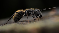 Camponotus mus (J Chiavo) Tags: argentina buenosaires camponotusmus canon6d costanerasur hormigacarpinterabronceada mpe65 macro macrofotografía macrophotography naturaleza nature recs reservaecologica
