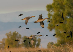 #nature (pstrock1) Tags: duck pintail fly nature dawn beauty look light sky morning wild wildlife bird eyes shade rice sunlite water wings pintails field