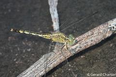 Diplacodes trivialis, female (GeeC) Tags: diplacodes tatai animalia diplacodestrivialis nature cambodia libellulidae arthropoda kohkongprovince insecta odonata anisoptera sympetrinae dragonflies