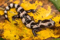 Marbled Salamander (Ambystoma opacum) (JLoyacano) Tags: florida flabellina jacobloyacano molesalamander wildlife nature ambystomaopcaum salamandercrossingroad caudata amphibian roadcruising marbledsalamander salamander amphibia ambystoma animal