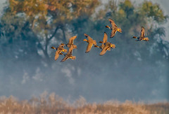 even in the fog (pstrock1) Tags: wings fly nature water beauty look marsh sky morning male wild wildlife eyes goldenhour sunlite duck light pintails bird