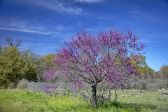 Redbud tree 3 (Largeguy1) Tags: approved blue sky clouds rosebud tree canon 5dsr