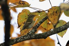 Yellow-browed Warbler!!! - Panama Flats, Victoria BC (singhliam777) Tags: