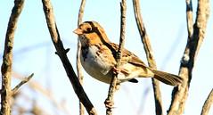 Harris's sparrow juvenile near Lime Springs IA 653A8632 (naturalist@winneshiekwild.com) Tags: harriss sparrow juvenile lime springs howard county iowa larry reis
