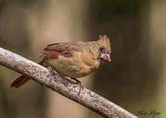 Cardinal (juvénile) - Juvenile Cardinal-13 (Lucie.Pepin1) Tags: oiseaux birds cardinal juvénile nature wildlife faune fauna luciepepin canon7dmarkii canon300mml