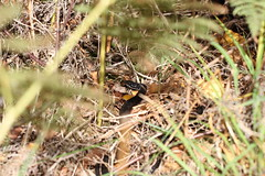 Melanistic Adder (ChristianMoss) Tags: melanistic adder vipera berus snake reptile black