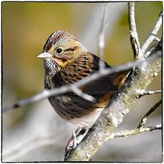 Lincoln Sparrow (RKop) Tags: d500 600mmf4evr 14xtciii handheld eastforklake prairietrail raphaelkopanphotography