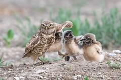 """SERIOUSLY MOM!!!!!...... get some NEW DEODORANT!!!"" (Hilary Bralove) Tags: owl owls owlets burrowingowls burrowingowl wildlife coloradobirds coloradoowls coloradowildlife nikon nature birds bird"
