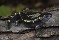 Spotted Salamander (Nick Scobel) Tags: spotted salamander ambystoma maculatum caudata michigan amphibian spots yellow colorful