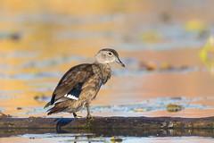 Canard Branchu (femelle)  -  Wood Duck (marieroy0808) Tags: marieroy abitibi canardbranchu