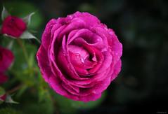 rose (Christine_S.) Tags: floralphotography flowers roses rosegarden japan garden macro closeup olympusem10markiii m30mmf35macro nature mirrorless microfourthirds raindrops waterdrops rain july purple magenta floribunda dormyst mauve