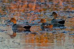 #nature (pstrock1) Tags: sky bird goldenhour wild wildlife sunlite fly nature water peacefull eyes beauty duck look wings light