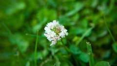 Small Flower (Jae Oldham) Tags: white flower grass plant macro close leaf new zealand