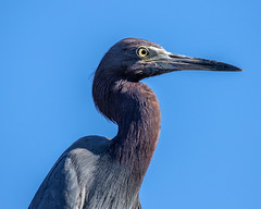 Little Blue Heron (dbadair) Tags: outdoor seaside dennis adair shore sea sky water nature wildlife 7dm2 7d ii ef100400mm ocean canon florida bird