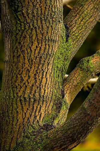 Finch Arboretum Ash Tree