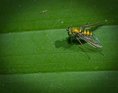 Diptera (entomopixel) Tags: diptera mosca insect insecto insectphotography insectmacro photography macrofotografia macrophotopraphy arthropods