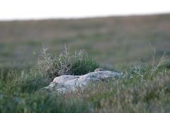 Burrowing Owl (Ian Hearn Photography) Tags: burrowing owl ian hearn nikon d500 young birder photographer birds nampa boise kuna idaho nature photography ada canyon county peekaboo athene cunicularia wildlife teenage birders