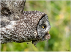 Great Grey with vole (Pius Sullivan) Tags: