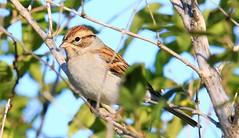clay-colored sparrow near Lime Springs IA 653A8637 (naturalist@winneshiekwild.com) Tags: claycolored sparrow lime springs howard county iowa larry reis