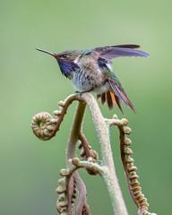 Volcano Hummingbird (www.studebakerstudio.com) Tags: volcano hummingbird volcanohummingbird costa rica