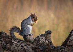 squirrelling away (Emma Varley) Tags: squirrel autumn october acorn food hibernation grey woodland log tree nature close up