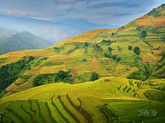 Golden rice terraces during harvest season (northeastern Vietnam) (From Studio C++) Tags: manmade wonder golden rice terraces northeastern vietnam mu cang chai district harvest season