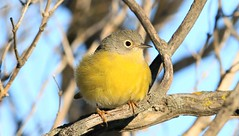 Nashville warbler near Lime Springs IA 653A8747 (naturalist@winneshiekwild.com) Tags: nashville warbler lime springs howard county iowa larry reis