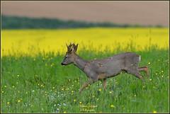 """Chevreuil """" Brocard """" ( Capreolus capreolus ) image prise à main levée et dans un milieu naturel . (Le Papa'razzi) Tags: chevreuil brocard capreoluscapreolus pâturage campagne animalsauvage nikond500 nikkor200500mmf56"""