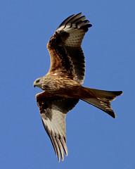 Juvenile Red Kite --- Milvus milvus (creaturesnapper) Tags: uk maplelodge birds birdsofprey juvenile redkite milvusmilvus