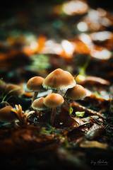 Fragility (RTA Photography) Tags: autumn fungi rtaphotography light macro nature naturephotography nikon d750 tamron woodland britishwoodland