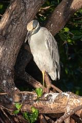 Yellow-Crowned Night-Heron (dbadair) Tags: outdoor seaside dennis adair shore sea sky water nature wildlife 7dm2 7d ii ef100400mm ocean canon florida bird